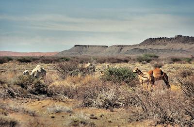 Dromadaires du Kalahari