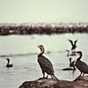 Lac Manyara - Cormorans