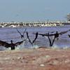 Lac Manyara - Cormorans et pélicans
