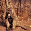 Parc du Serengeti - Babouin au campement