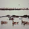 Lac Manyara - Oies d'Egypte et hippopotames