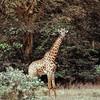 Lac Manyara - Girafe