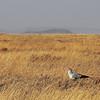 Parc du Serengeti - Oiseau secrétaire