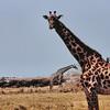 Manyara - Girafes et buffles