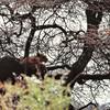 Lac Manyara - Lionne dans les arbres (rare)