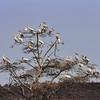 Lac Manyara - L'arbre à pélicans