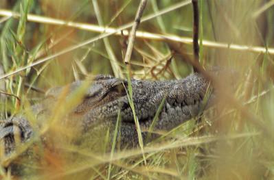 Crocodile sauvage