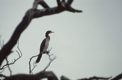 Cormoran du Zambèze
