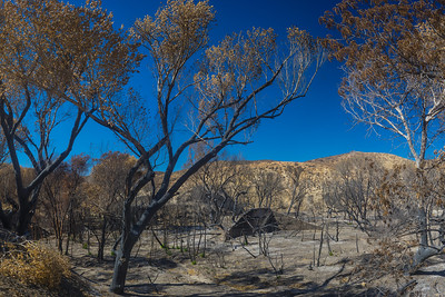 Burned Trees in California Valley