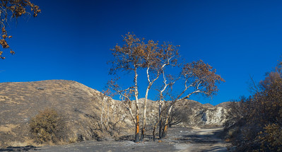 Birch Trees after Wildfire