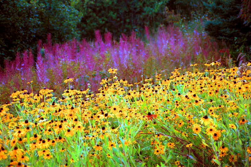 Fireweeds and Brown-eyed Susans.This photograph was taken in a State Park on the North Shore of Lake Superior. I love the combination of the pink of the Fireweed and the yellow of the Brown-eyed Susans. Prints available of this website or by contacting michael Maltese @ michael_m_55409@yahoo.com