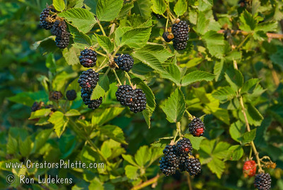 Chickasaw Blackberry - Rubus sp. This high yielding variety produces large, high quality fruit on vigorous erect canes.  The fruit are long, cylindrical and slightly flatened in shape and verry attractive with a glossy, black finish.  Resistant to anthracnose.  Developed by University of Arkansas.  Hardy to USDA Zone 7.  Ripens around June 10th in Arkansas and extending for 5-6 weeks. Photo taken at Sharsa's Farm outside Exeter, CA