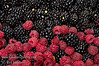 Ouachita Blackberry - Rubus sp. (with Heritage Raspberries)<br /> An excellent release from University of Arkansas.  Large berries with very good flavor and quality.  Thornless. Consistent, high yielding production on very erect canes.  Comparable to or exceeding yields of Apache and Navaho.  Hardy to USDA Zone 6. Ripens mid-season, around June 12 in Arkansas, continuing 5 weeks.<br /> Image taken at Bravo Lake Botanical Gardens 6-11-11 during berry tasting day.