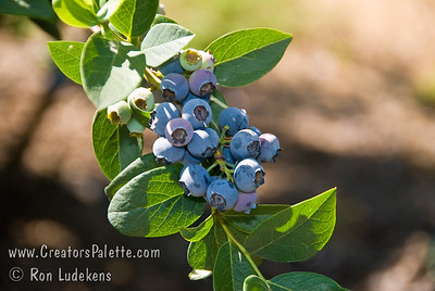 Earliblue Blueberry (Vaccinium corymbosum x)  Northern Highbush First to ripen.  Large, light blue, delicious sweet flavored berries.  The upright bush produces stout canes with bright red wood and large glossy green leaves.  Red-burgundy fall foliage.  Plant where blueberries are well suited and avoid frost pockets where early crops might be damaged. Cold hardy to U.S.D.A. Zone 5.  Mature size 4-6 feet. Semi Self Fertile. Photo taken 5-20-2009 at Blueberry Field Day hosted by UC Extension at Kearney Agricultural Research & Extension Center, Parlier, CA