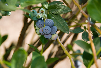 Blueberries at Kearney Ag Field Station 5-16-07
