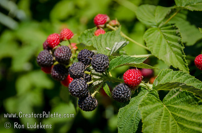 Cumberland Black Cap Raspberry  (Rubus occidentalis) Large, glossy, blue-black, firm berry.  Good for fresh eating or for freezing, jams, jellies, syrup, preserves and pies.  Native to eastern North America and is the leading commercial variety in the Northern and Central regions (like Illinois).  Ripens: Mid-season.  Mature height is 6-9 feet, spread of 4-8 feet. Good in cold climates. Cold hardy to U.S.D.A.  Zone 5.