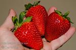 Albion Strawberry (Fragaria sp.)