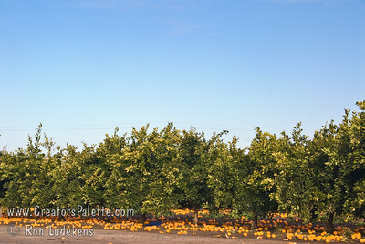 This photo shows the abandoned, damaged orange crop - results of January Freeze of 2007