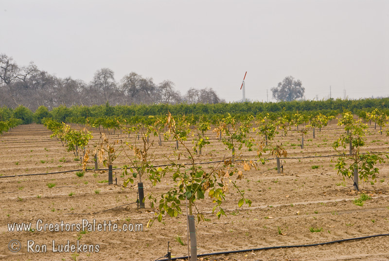 This photo shows damage to young citrus trees as a result of January 2007 freeze.