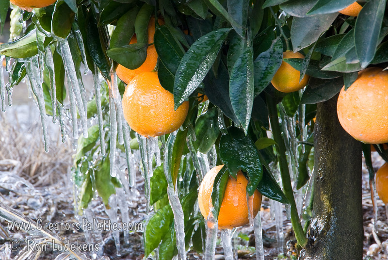 Photo taken on the morning of 1-13-2007 when the temperature plummeted to 19-21 degrees F - capturing the efforts of Tulare County farmers to protect their citrus crops.