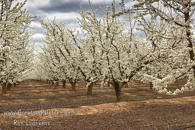 Almond Orchard in bloom under stormy skies.