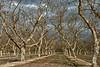 Dormant Walnut Orchard under Stormy Skies