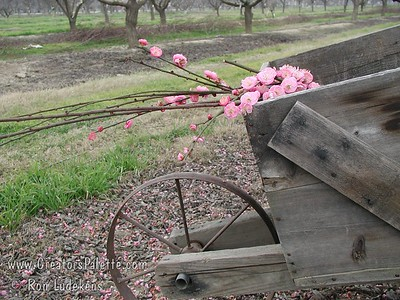 Bonita Flowering Apricot (Prunus mume) A stunning display of semi-double rose red flowers.  Lovely for cut flowers.  Semi-upright grower with round head.  Growth to 25-30 feet high & wide.  Cold hardy to USDA Zone 6 but since blooms very early, frost damage to blooms must be considered before you can have consistent full enjoyment.