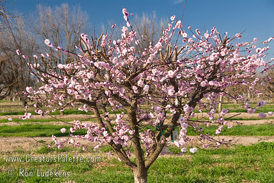Dawn Flowering Apricot (Prunus mume).  A beautiful display of fragrant, double ruffled, pink flowers.  Very fragrant with a spicy scent.  Height to 15-20 feet.  Cold hardy to USDA Zone 6 but since it blooms early, be aware of late frosts. (Note: Trees in the LEC Budwood Orchard are cut back heavily every year to force growth of budwood to make new trees.  Thus, I apologize that this photo is not as aesthetically pleasing as it would be in a proper landscape application.  You need to use a little imagination how a full grown tree would look.  At least from here I am positive of the accuracy of the variety.)