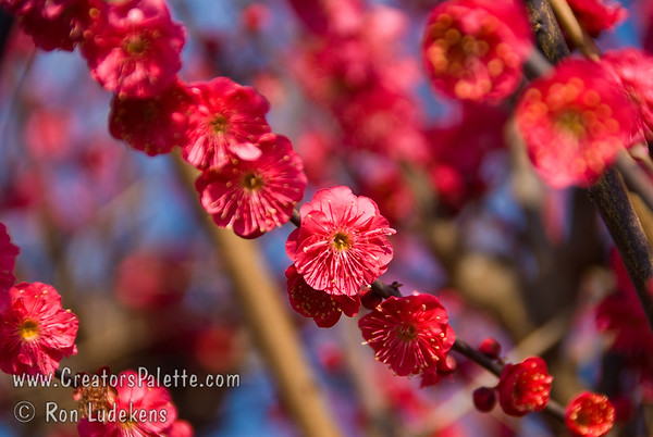 Matsubara Red Flowering Apricot