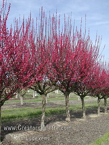 Masses of double, deep red flowers in early spring make this an outstanding smaller cultivar.  Lightly scented.  New growth is red turning green.  Grows to a height of 10-12 feet and spread of 10-12 feet.  Cold hardy to USDA Zone 7. (Note: Trees in the LEC Budwood Orchard are cut back heavily every year to force growth of budwood to make new trees.  Thus, I apologize that this photo is not as aesthetically pleasing as it would be in a proper landscape application.  You need to use a little imagination how a full grown tree would look.  At least from here I am positive of the accuracy of the variety.)