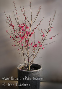 Masses of double, deep red flowers in early spring make this an outstanding smaller cultivar.  Lightly scented.  New growth is red turning green.  Grows to a height of 10-12 feet and spread of 10-12 feet.  Cold hardy to USDA Zone 7.  This photo shows tree grown in a multi-stem bush form.