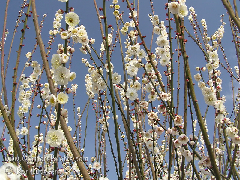 Rosemary Clarke Flowering Apricot (Prunus mume)<br /> A beautiful display of white, double blossoms with red calyx.  Abundant and very showy.  Very fragrant.  Grows to a height of 20-25 feet and spread of 15-20 feet.  Cold hardy to USDA Zone 6 but be aware of late frosts on this very early bloomer.