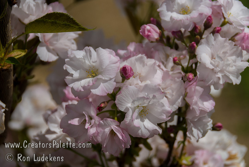 Amanogawa Flowering Cherry (Prunus serrulata 'Amanogawa')<br /> Narrow columnar form.  Semi-double soft pink fragrant flowers in early spring. Young foliage is yellowish green becoming dark green at maturity. Good for small back yards and townhouses.  25' height, 8' spread.