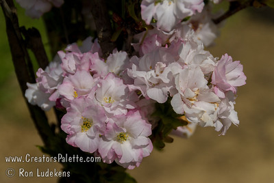 Amanogawa Flowering Cherry (Prunus serrulata 'Amanogawa') Narrow columnar form.  Semi-double soft pink fragrant flowers in early spring. Young foliage is yellowish green becoming dark green at maturity. Good for small back yards and townhouses.  25' height, 8' spread.