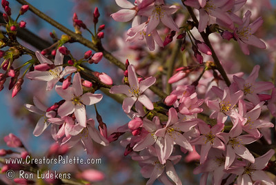 Beni Hoshi Flowering Cherry (Prunus subhirtella 'Beni Hoshi') Delicate, light pink single flowers with long twisting petals. Fast grower with arching branches reaching umbrella shaped in outline.  Grows to 20-25 feet in height and width.  Cold hardy to USDA Zone 5.