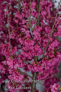 First Lady Flowering Cherry (Prunus 'First Lady') An ornamental flowering tree that features a profuse bloom of single, dark rose-pink flowers in early spring. Red calyxes provide post-bloom ornamental color for three weeks after the flowers drop. Flowers give way to small dark red drupes eaten by birds. Glossy dark green leaves. Parents of this hybrid are P.'Okame' and P. campanulata. Grows to 20-30' tall with an upright, almost columnar habit of only 14' wide. Does well in mild winter areas too. Cold hardy to U.S.D.A. Zone 6.