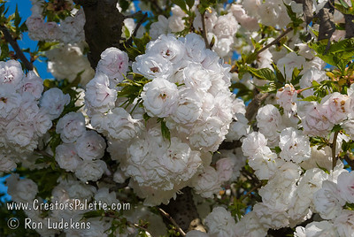 Mt. Fuji - Shirotae Flowering Cherry (Prunus serrulata 'Shirotae') Early blooms, double white fragrant flowers.  Horizontal habit.  Has one of the best white blossoms of the flowering cherries.  Height of 15-20 feet, spread of 20-25 ft.  Cold hardy to USDA Zone 5.