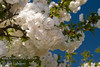 Mt. Fuji - Shirotae Flowering Cherry (Prunus serrulata 'Shirotae')<br /> Early blooms, double white fragrant flowers.  Horizontal habit.  Has one of the best white blossoms of the flowering cherries.  Height of 15-20 feet, spread of 20-25 ft.  Cold hardy to USDA Zone 5.