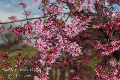Okame Flowering Cherry (Prunus 'Okame') One of the most striking and desired flowering cherries. An upright branching,  oval shaped tree. Foliage is a finely textured attractive green, changing to shades of yellow-orange to orange-red in the fall. When in bloom, it is covered with a profuse display of clear pink flowers. The tree blooms early but long.