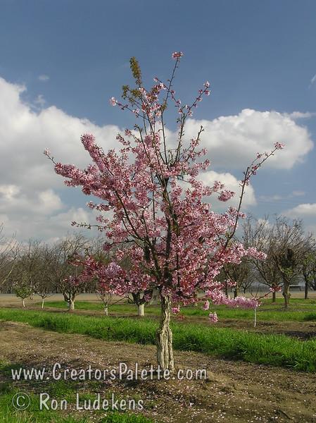 Pink Cloud Flowering Cherry Prunus Serrulata Pink Cloud