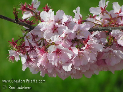Pink Cloud Flowering Cherry (Prunus serrulata 'Pink Cloud') This is a favorite for mild winter areas where other flowering cherries will not bloom.  Bright single pink flowers completely cover the tree. Medium growing, willowy, round, upright tree. 12-20 feet in height by 15-20 feet wide.