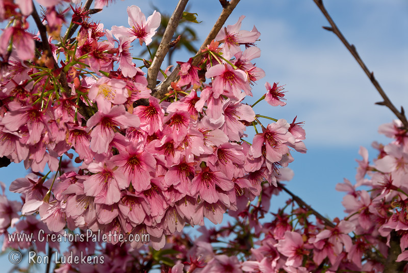 Pink cloud flowering cherry prunus serrulata pink cloud pink cloud flowering cherry prunus serrulata pink cloudbr mightylinksfo