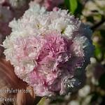 Shogetsu Flowering Cherry (Prunus serrulata 'Shogetsu')