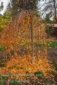 I love the fall color of the Snow Fountains Weeping Flowering Cherry.  Here is one in my back yard just before the rain storm hit and finished knocking off the beautiful leaves.
