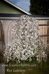 Snow Fountains® Weeping Flowering Cherry (Prunus x cv 'Snofozam' A beautiful dwarf weeping cherry. In spring graceful cascading branches are covered with single white flowers giving the appearance of a fountain of snow. Lush green summer foliage turns to lovely hues of orange and gold in autumn.