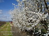 Early White Flowering Peach (Prunus persica sp.)<br /> Showy, large, semi-double white flowers.  Low chill and one of the earliest of all flowering peaches making it suitable for warmer winter areas.  Grows to a height of 20 feet and spread of 20 ft.  Cold hardy to USDA Zone 8.  Requires only 300 hours chilling to set bloom.