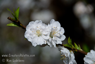 Early White Flowering Peach (Prunus persica sp.) Showy, large, semi-double white flowers.  Low chill and one of the earliest of all flowering peaches making it suitable for warmer winter areas.  Grows to a height of 20 feet and spread of 20 ft.  Cold hardy to USDA Zone 8. Requires only 300 hours chilling to set bloom.