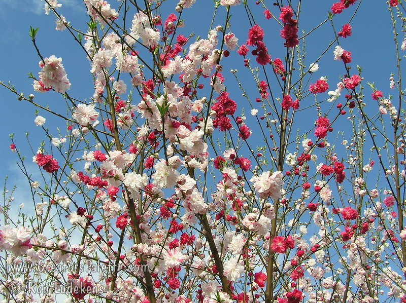 Variegated peppermint flowering peach prunus persica variegated peppermint flowering peach prunus persica spbr mightylinksfo