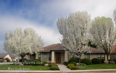 Landscaped home with both Bradford (rounded) and Aristocrat® (more upright) Flowering Pears.
