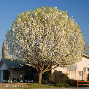 Bradford Flowering Pear (Pyrus calleryana 'Bradford') Snowy white flowers in the spring and bronze-red fall foliage.  Excellent tree for street planting.  Not recommended for areas of high wind or snow loads that will break branches.  Self-nonfruitful and not pollinated by regular pear varieties.  Height to 35 feet, spread to 30 feet.  Cold hardy to USDA Zone 5.